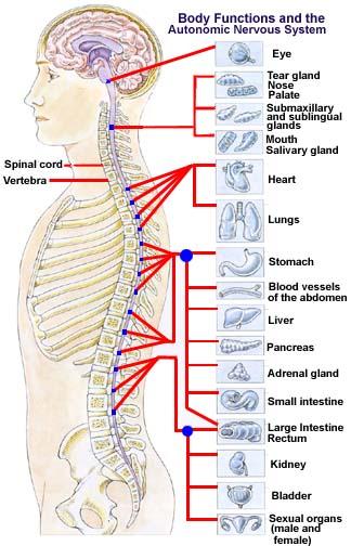 cuantas vertebrae tiene la columna vertebral yahoo dating